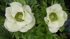 anemone windflower american meadows