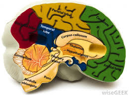 What Is The Main Function Of The Medulla Oblongata What Is The Cerebellar Cortex With Pictures