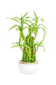 21 best lucky bamboo plants images on pinterest lucky bamboo
