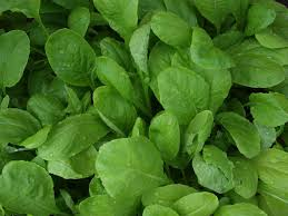 growing mustards how to plant mustard greens