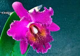 cattleya orchids cattleya orchid cattleya orchids cattleya orchid flower arrangement