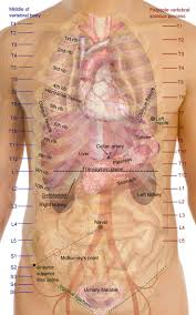 best 25 organs of the body ideas on pinterest anatomy organs