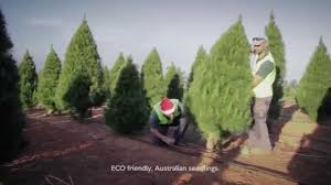 real christmas trees melbourne youtube