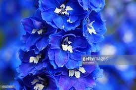delphinium flower delphinium stock photos and pictures getty images