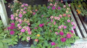 Purple Leaf Peach Tree by Buy Lantana In Orlando Florida Lake Mary Kissimmee Sanford