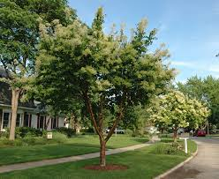 of china tree trees from chicagoland grows china snow lilac