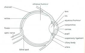 Blind Spot In Eyes The Eye Rods And Cones Biology Notes For Igcse 2014
