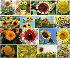 teddy sunflowers helianthus annuus sunflower seeds edible teddy