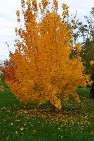 native plants of kansas kansas city gold u0027 shantung maple coming soon this cultivar of