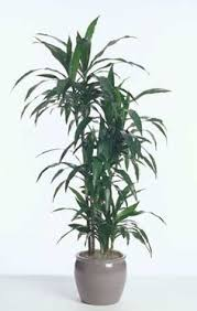Indoor House Plants Low Light Chinese Evergreen Is A Very Adaptable Plant It Tolerates Low