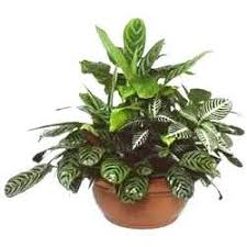indoor plants india indoor plants in pune maharashtra india diamond nursery