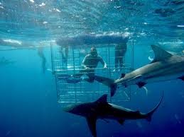 shark cage diving durban south africa blue wilderness