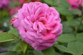 china flower stock image image of nature 31221801