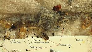 How Long Can Bed Bugs Live Without Air How To Check For Bed Bugs Discover Where They Hide And What To