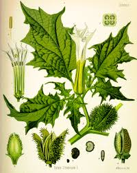 native american healing plants toloache datura innoxia annual shrubby plant that typically