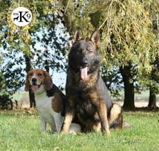 house dogs in house dog training and dog training boot camps protection