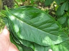 Teh Afrika rahasia manfaat daun afrika untuk kesehatan dan kecantikan