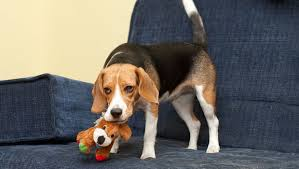 Good Backyard Pets Do Beagle Dogs Make Good Pets Beaglehappy