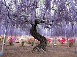 take a stroll wisteria tunnel at kawachi fuji gardens kitakyushu