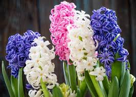 hyacinth flower hyacinth and muscari planting and caring for hyacinth bulbs the