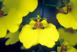 Yellow Orchid Orchid Stock Photos Species U0026 Hybrids Images Plant U0026 Flower