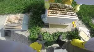 honey bee crazy comb removal youtube
