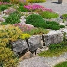 groundcover sedum for the rock garden succulents air plants