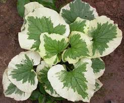buy ornamental plants siberian bugloss false forget me not