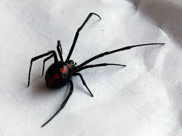 Black Widow Spiders Had A - when i was a little girl i had a fear of spiders i was told that