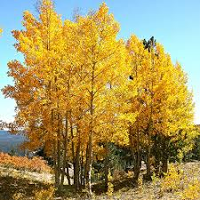 ornamental trees suburban lawn garden