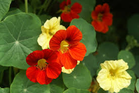 nasturtium flowers growing nasturtiums tips for care of nasturtiums