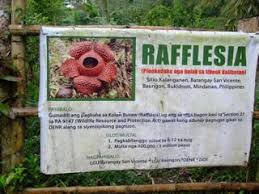 largest flower in the world discovering rafflesia in the philippines finding the worlds