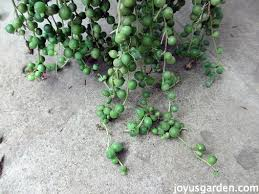how to care for u0026 propagate a string of pearls plant