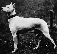 imagenes de terrier ingles your bull terrier s amazing extinct ancestor pethelpful