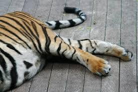 tiger on leg tiger leg stock photo colourbox leg tiger stock