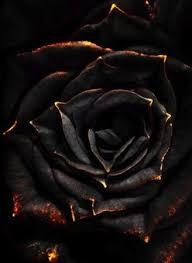 black roses best 25 black roses ideas on black picture