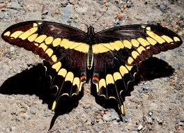 common so cal butterflies