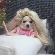 Meme Chihuahua - chihuahua chloe chihuahuachloe1 twitter