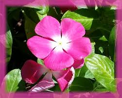 vinca flower annual vinca flower remedy charissa s cauldron