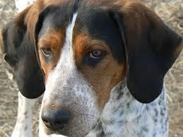 bluetick coonhound vs redbone coonhound blue tick hound photo lost blue tick x treeing walker male 1 yr