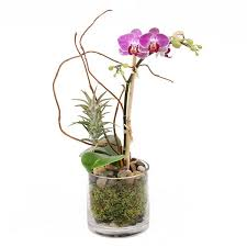 orchid plant mini orchid air plant orchid plant delivery nyc plantshed