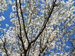 finch bradford pear blooms distinct odor al