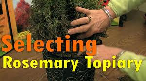 What Is A Topiary Tree Selecting A Rosemary Topiary At The Nursery Youtube
