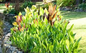 canna lilies canna lilies burke s backyard