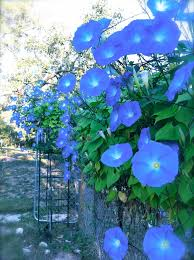 heavenly blue morning glories perennials pinterest morning