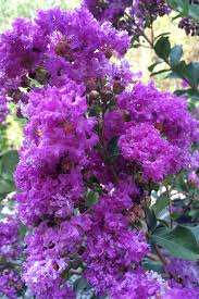 Tree With Purple Flowers Buy Twilight Purple Crape Myrtle For Sale Online From Wilson Bros