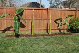 spring planting banana trees sand and sisal