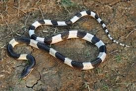 Serum Ular serum bisa ular ular weling bungarus candidus