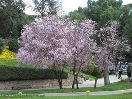 the world s tree species cherry plum blossom series