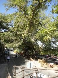 special tree picture of safari club crete malia tripadvisor